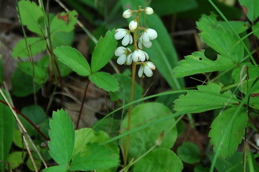 Round-leaved Pyrola