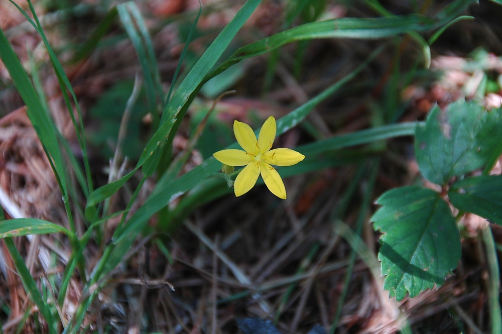 Yellow Stargrass