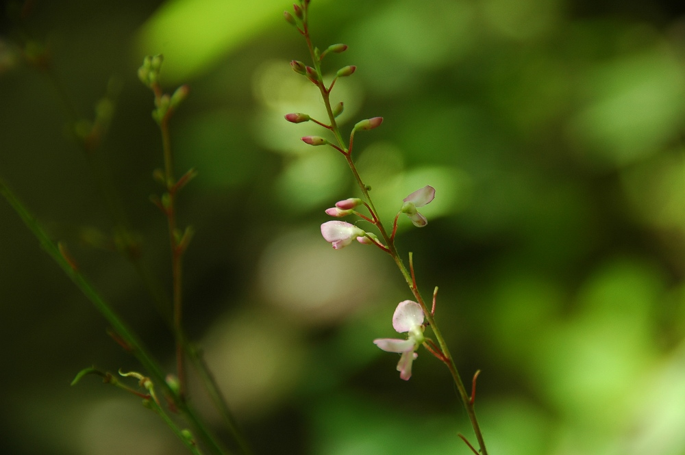 Pointed-leaved Tick-trefoil