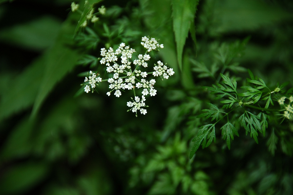 Hemlock Parsley