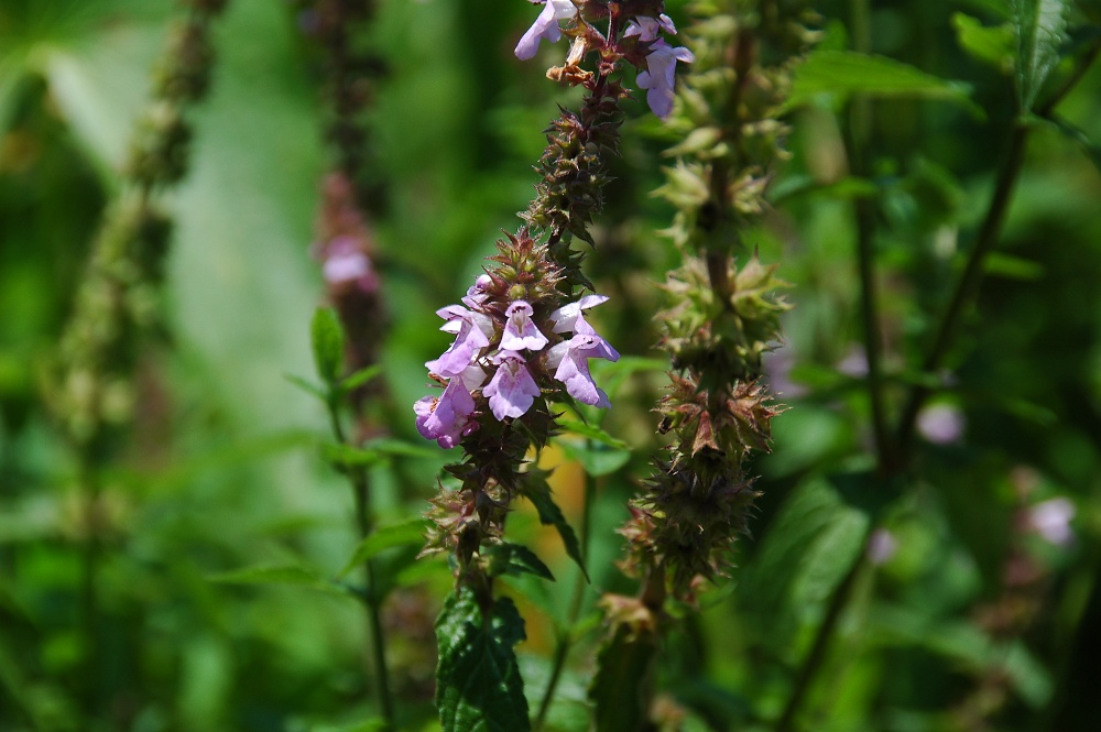 Marsh Hedge-nettle