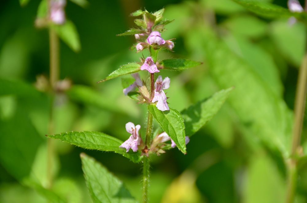 Smooth Hedge-nettle