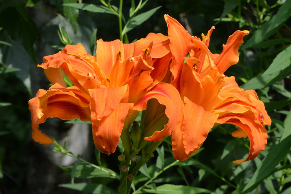 Day Lily (domestic)